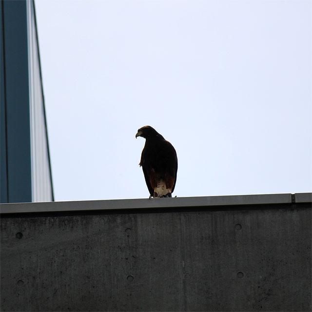 敷地を見渡す鷹