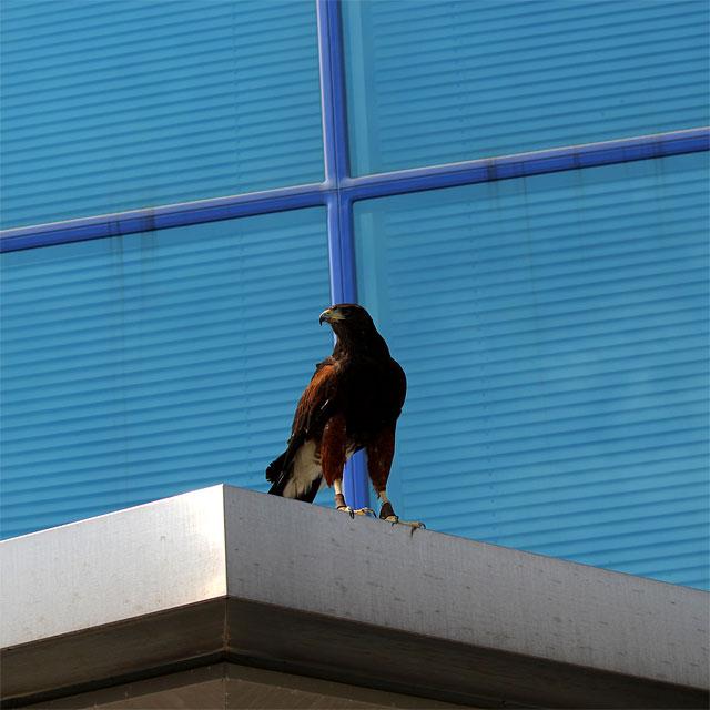 害鳥を探す鷹