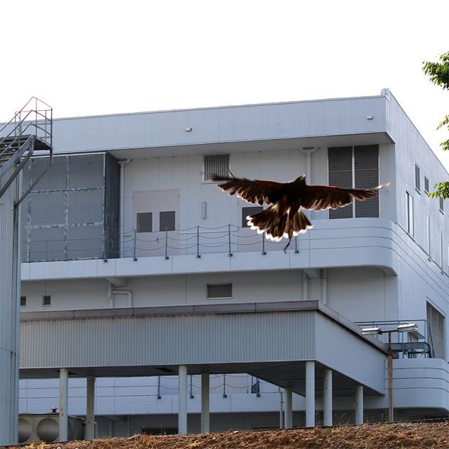 敷地内を飛ぶ鷹