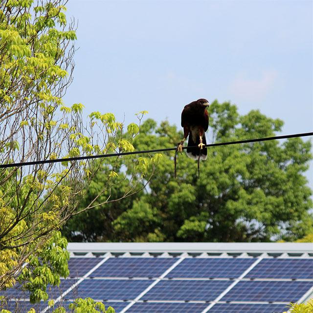 電線の上から見渡す鷹