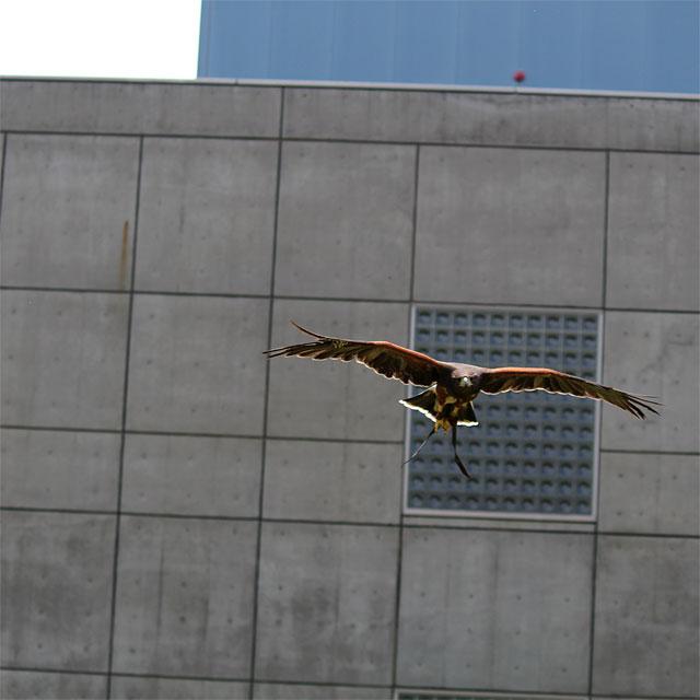 威嚇のための飛行中の鷹