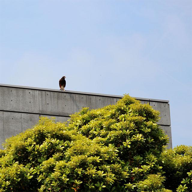 建物屋上に停まる鷹