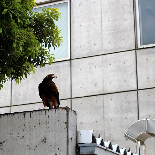 敷地内を警戒する鷹