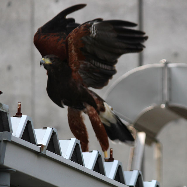 害鳥追い払いに飛び立つ鷹