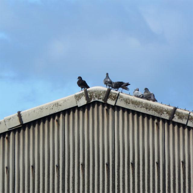 工場の屋根にいる鳩