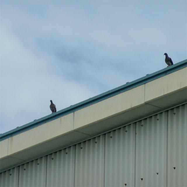 建物のの屋上にいる鳩