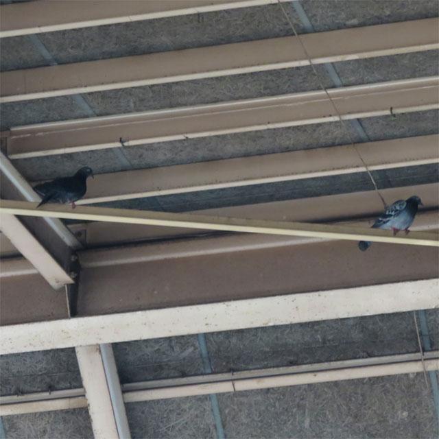屋根に停まる鳩