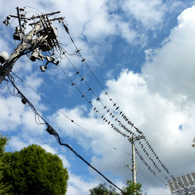 電線に停まる鳩の大群