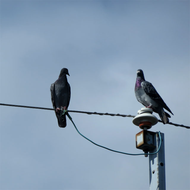 電線に停まる鳩