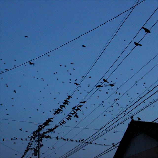 夜間の害鳥の群れ