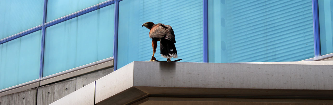 周囲を威嚇する鷹