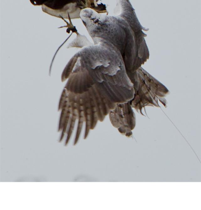 鷹による害鳥駆除