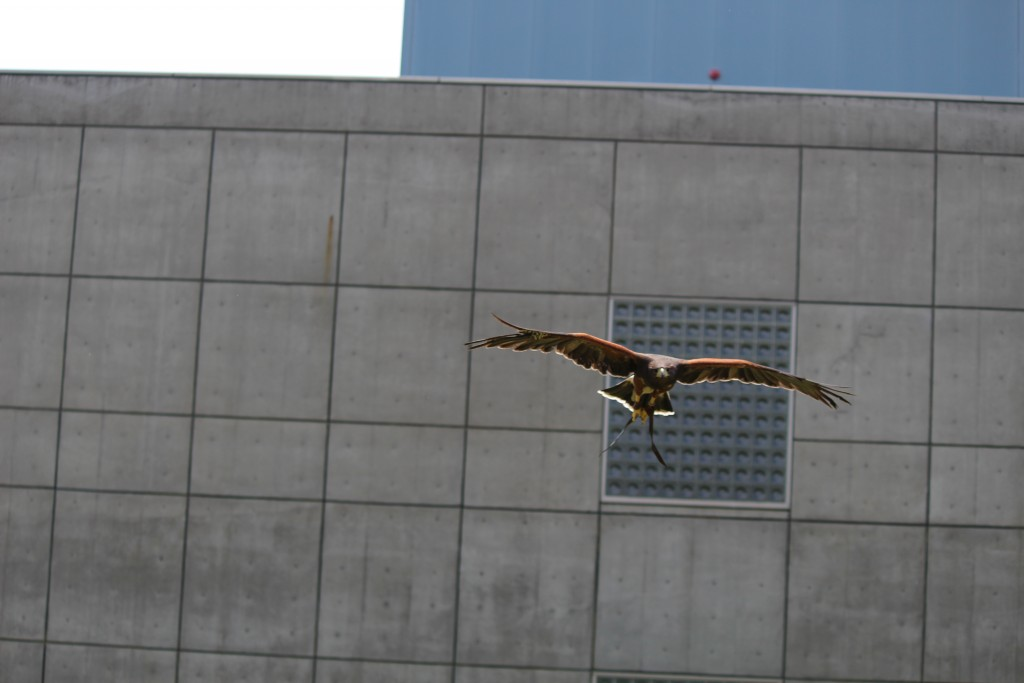 鷹匠の鷹による、伝統の技を現代に生かした害鳥対策を開始
