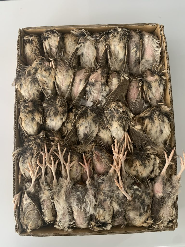 餌用冷凍ウズラ未処理40羽2ケース1羽あたり130円
